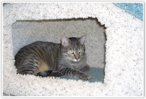 cat boarding Room -Tabby in fort